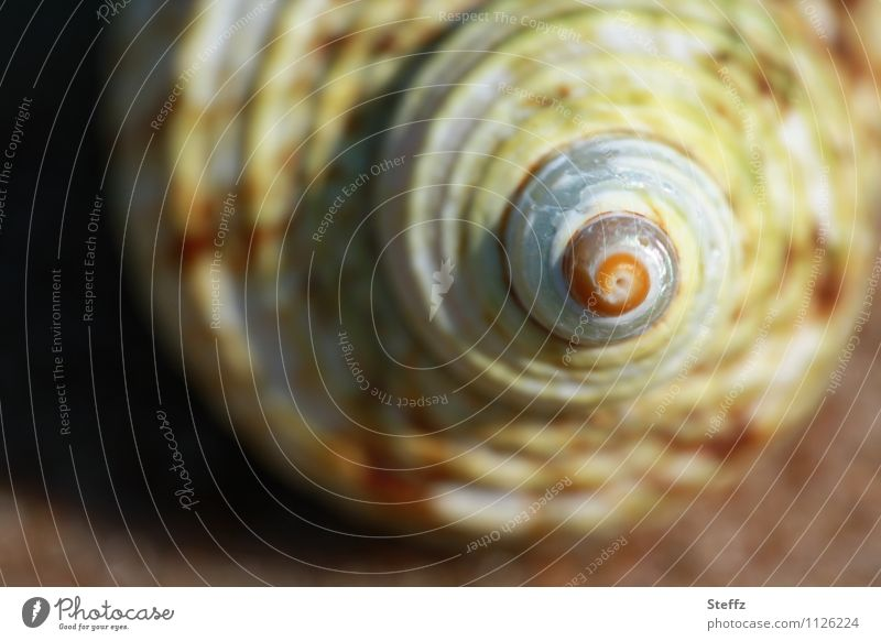 conch spiral Nature Summer Beach Mussel Mussel shell Snail shell Spiral Round Point Brown Beige Yellow Flotsam and jetsam Rotated counterclockwise Symmetry
