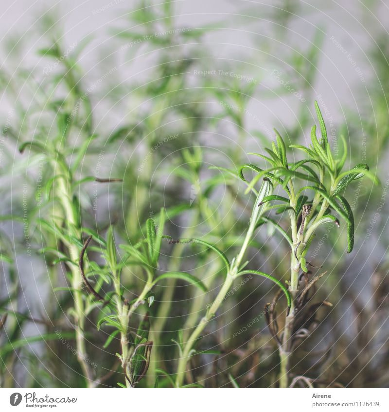 Nature Plant Healthy Food Growth To enjoy Herbs and spices Delicious Foliage plant Agricultural crop Rosemary