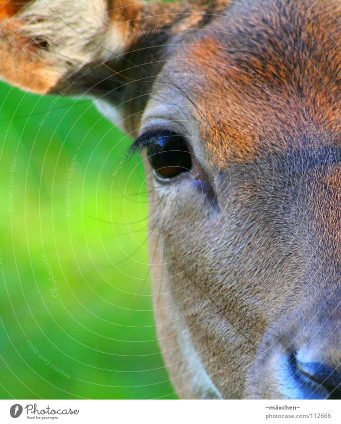 face to face Roe deer Eyelash Brown Rudolf the Rednosed Reindeer Grass Green Pelt Looking Beautiful Timidity Peace Glittering Glimmer Macro (Extreme close-up)