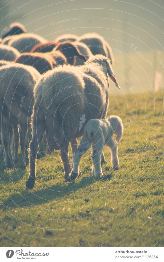 Flock of sheep with offspring Happy Hair and hairstyles Vacation & Travel Trip Summer Nature Landscape Sunrise Sunset Sunlight Beautiful weather Animal