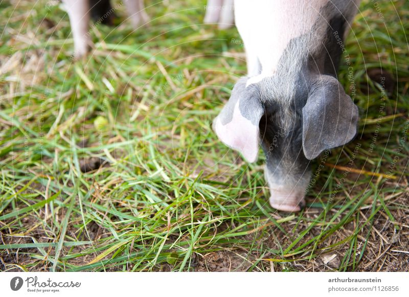Plant Animal Natural Grass Healthy Happy Contentment Authentic To feed Organic farming Feeding Purity Swine Farm animal Short-haired Love of animals