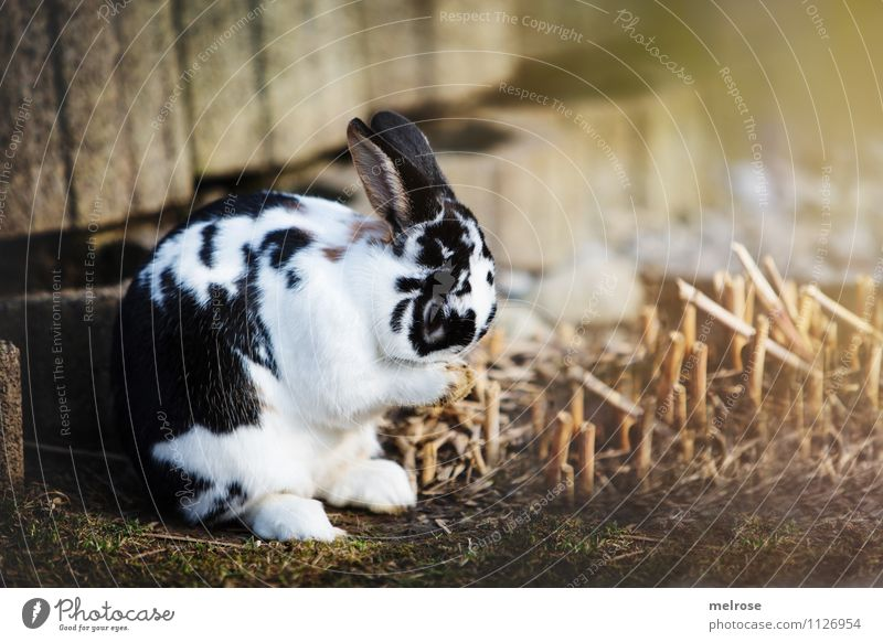 ashamedly Personal hygiene Face Spring Beautiful weather Grass Bushes Garden Meadow Animal Pet Pelt Paw Pygmy rabbit Hare & Rabbit & Bunny Mammal Hare ears 1