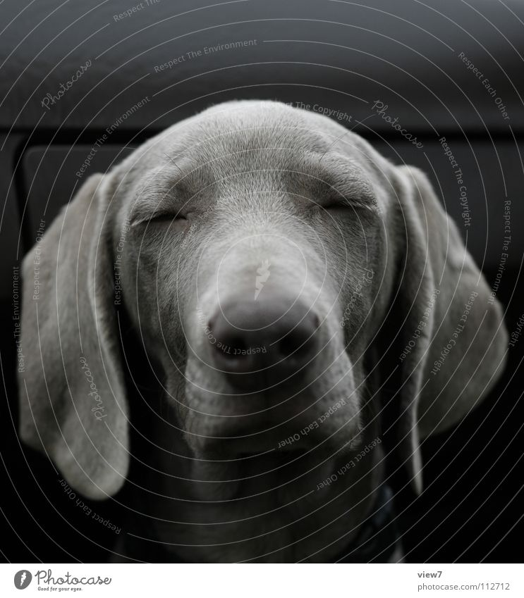 oh... Dog Puppy Cute Fine Beautiful Sleep Snout Hang Brown Weimaraner Mammal Closed Nose Eyes Dog's head Dog's snout Closed eyes Lop ears Animal face