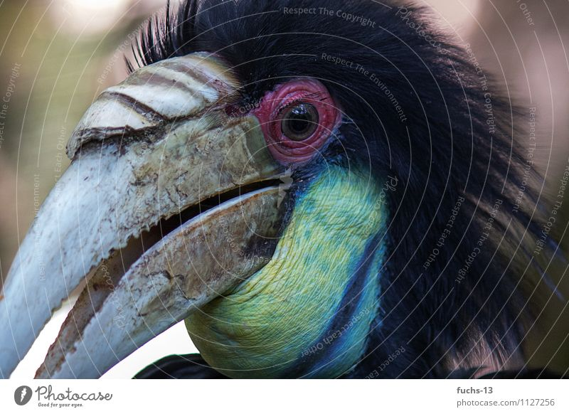 hornbill Animal Wild animal Bird Animal face 1 Observe Discover Hunting Aggression Threat Exotic Fantastic Creepy Near Curiosity Blue Yellow Black Spring fever
