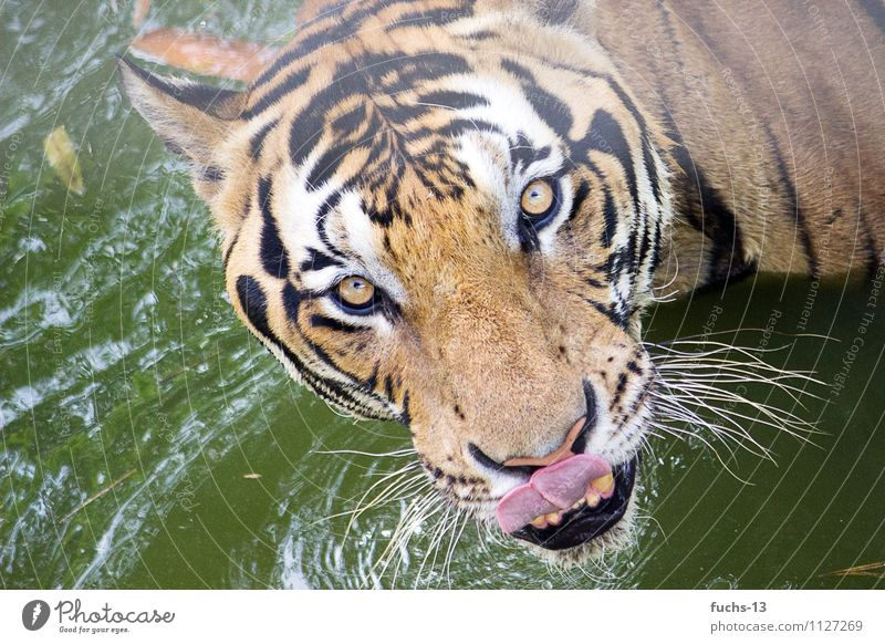 Hungry! Nutrition Eating Safari Animal Wild animal Animal face Zoo Tiger 1 Swimming & Bathing Observe Feeding Hunting Aggression Threat Exotic Strong