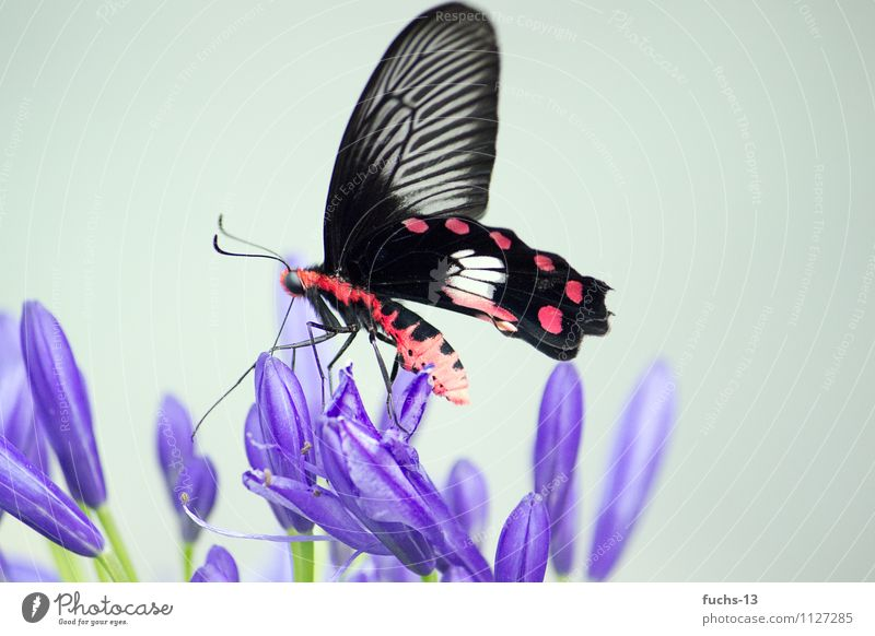 butterfly Nature Plant Animal Flower Wild animal Butterfly Insect 1 Eating Wait Violet Red Black Beautiful Life Ease Delicate Colour photo Multicoloured
