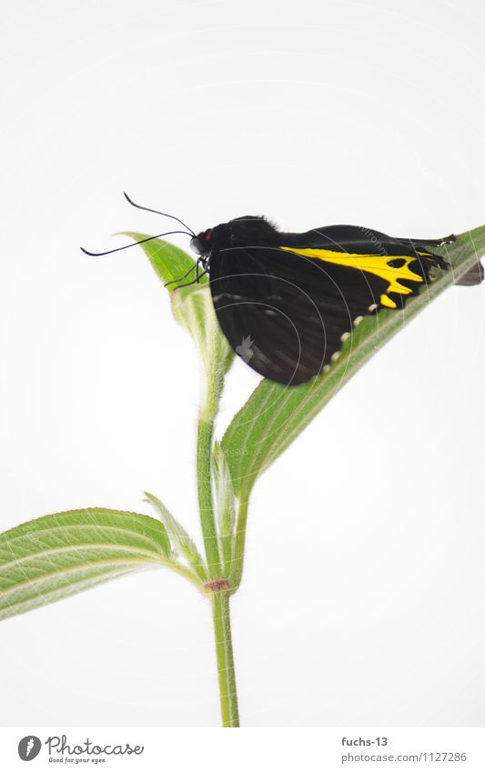 butterfly Butterfly Insect Nature Plant Flower Yellow Black Green Jump Wait Break Relaxation Colour photo Multicoloured Close-up Detail Copy Space top