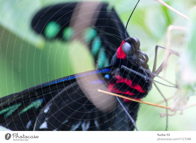 butterfly Animal Wild animal Butterfly Insect 1 Poverty Esthetic Animal face Trunk Observe Hide Red Black Green Pelt Delicate Colour photo Exterior shot