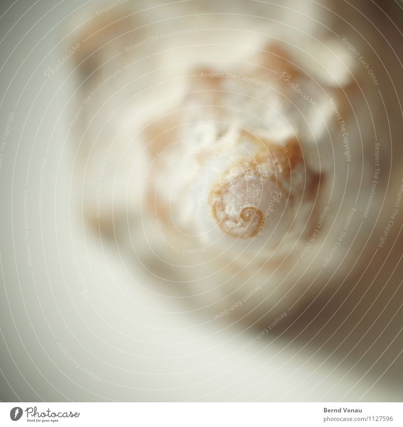 clockwise Vacation & Travel Beach Ocean Brown Orange Spiral Mussel shell Shell-shaped Discovery Beautiful Remember Time Rotation Grown Marine animal Housing