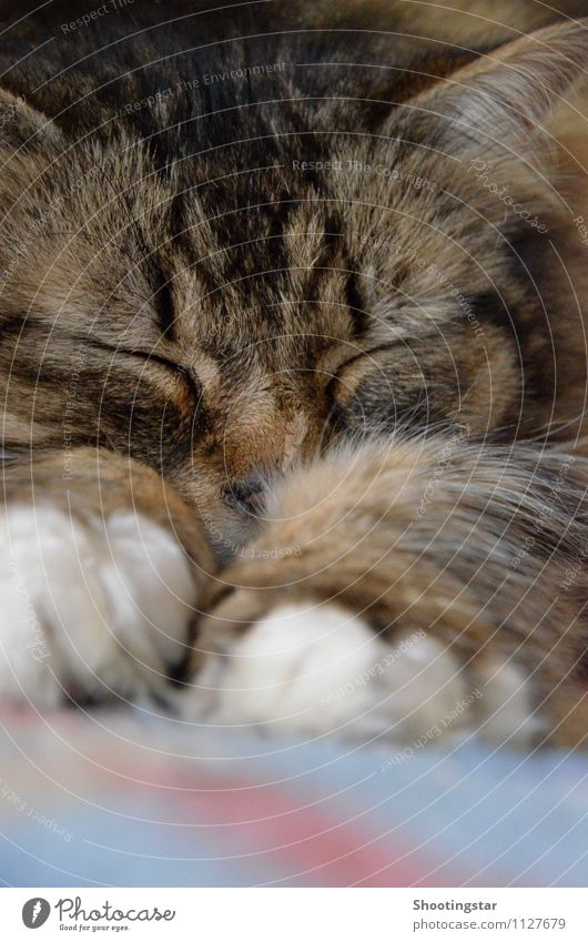purring Animal Pet Cat 1 Sleep Exhaustion Indifferent Effort Relaxation Purr Colour photo Interior shot Copy Space bottom Day Front view