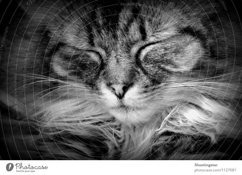 purr 2 Animal Pet Cat Pelt 1 Sleep Dream Serene mustache Black & white photo Interior shot