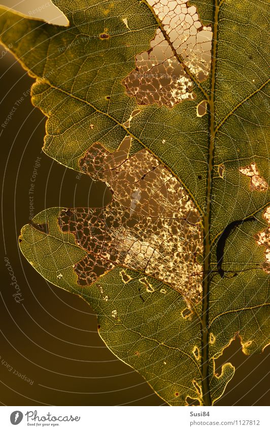 oak leaf Environment Nature Plant Summer Leaf Wild plant Oak leaf Oak tree Forest To feed Feeding Illuminate Exceptional Uniqueness Natural Beautiful Gold Green