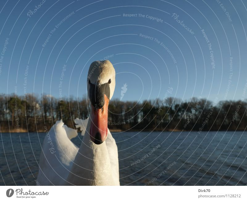 Swan attack! Environment Nature Sunlight Spring Beautiful weather Tree Park Forest Waves Coast Lakeside Ingolstadt Bavaria Animal Wild animal Bird waterfowl 1
