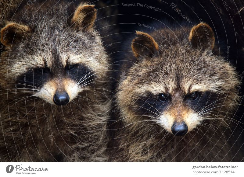 raccoon couple, together we are strong Wild animal Animal face Raccoon 2 Pair of animals Looking Stand Astute Curiosity Smart Beautiful Blue Brown Gray Black