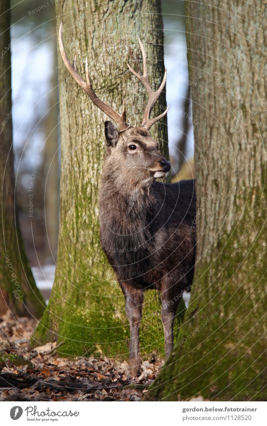 a deer Trip Freedom Environment Nature Landscape Animal Forest 1 Observe Healthy Large Near Strong Wild Brown Willpower Deer Game park Vension Antlers Tree Moss