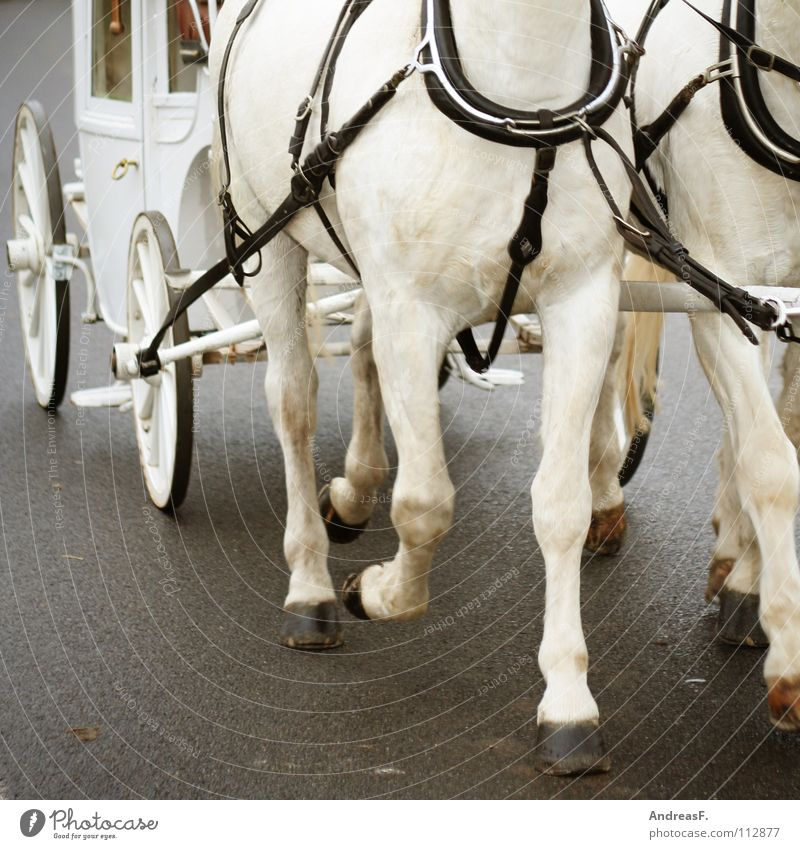 White Joy Street Legs Transport Pair of animals In pairs Walking Logistics Wedding Driving Horse Teamwork Pull Bride Matrimony