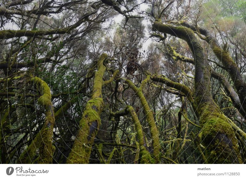 Nature Plant Green Tree Landscape Forest Environment Spring Gray Brown Growth Fog Climate Moss Lichen Jinxed