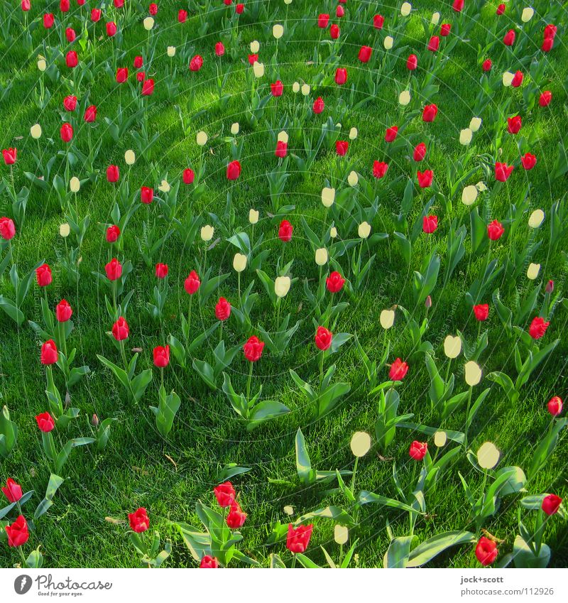 flowers speak Plant Spring Tulip Meadow Blossoming Fragrance Happiness Fresh Green Red Spring fever Optimism Inspiration Ease Growth Ground level Fantasy