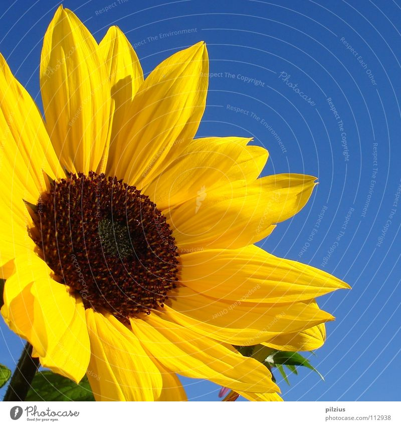The sun laughs Summer Sunflower Blossom Plant Flower Blossom leave