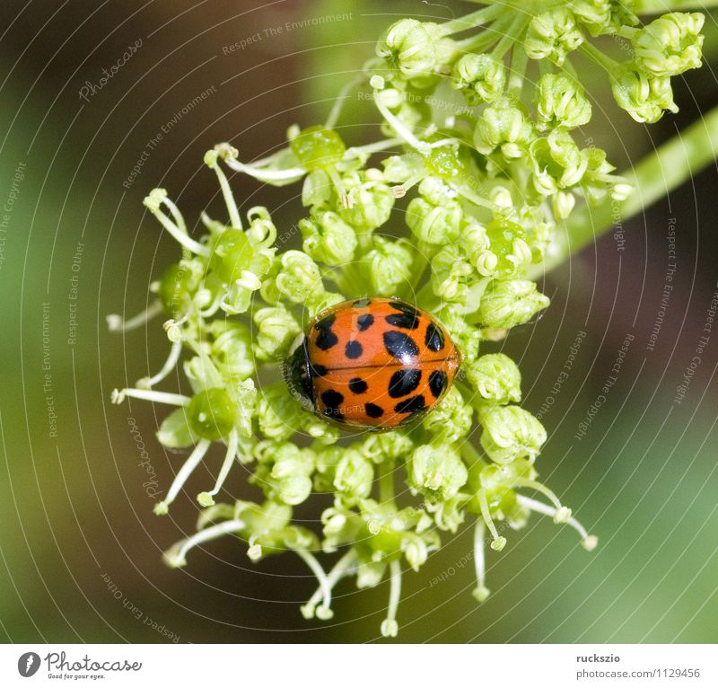 Green Red Black Wild animal Point Insect Japan Beetle Ladybird Good luck charm Airworthy