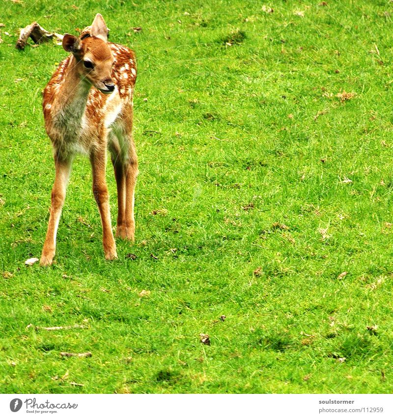 Bambi Roe deer Deer Small Fresh Meadow Field Clearing Hallway Blade of grass Grass Green Brown White Fawn Hoof Hind quarters Tails Stand Mammal Wild animal Lawn
