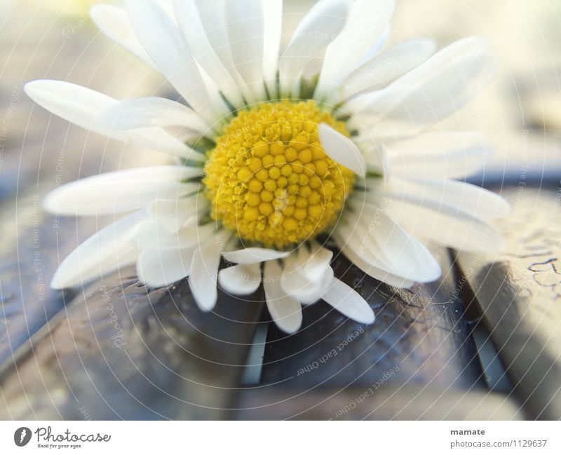 Delicate daisy Well-being Calm Mother's Day Nature Plant Spring Flower Blossom Garden Fragrance Esthetic Clean White Spring fever Romance Purity Contentment