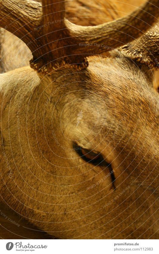 Eye to eye with a (no longer alive) stag. Photo: Alexander Hauk Animal Deer Hunter horns Headdress Pelt Mammal Hunting hunting animals Roe deer Wild Wild animal