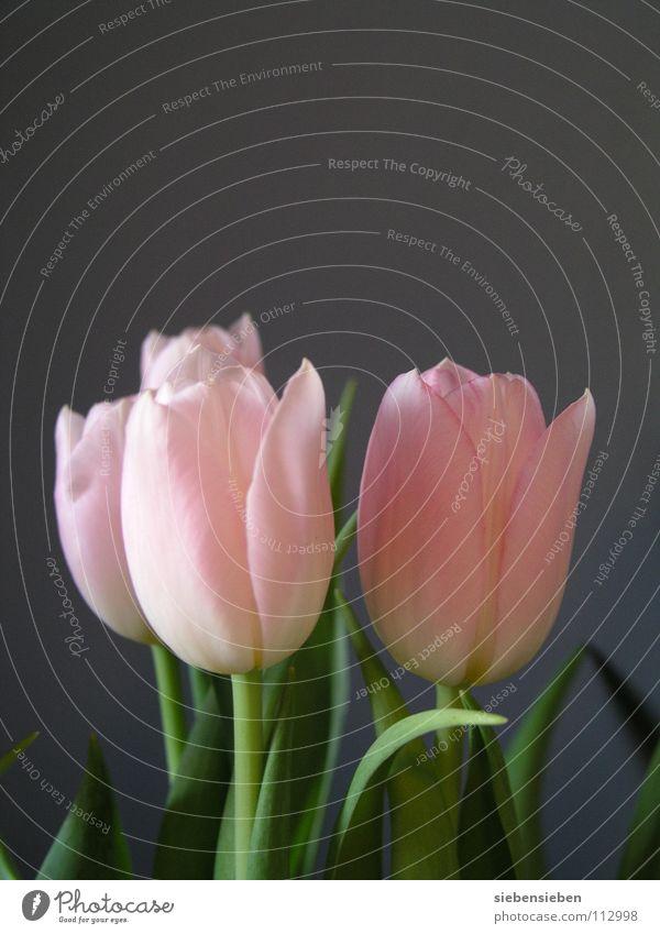 Beautiful Flower Blossom Spring Gray Flat (apartment) Decoration Elegant Transience Bouquet Tulip
