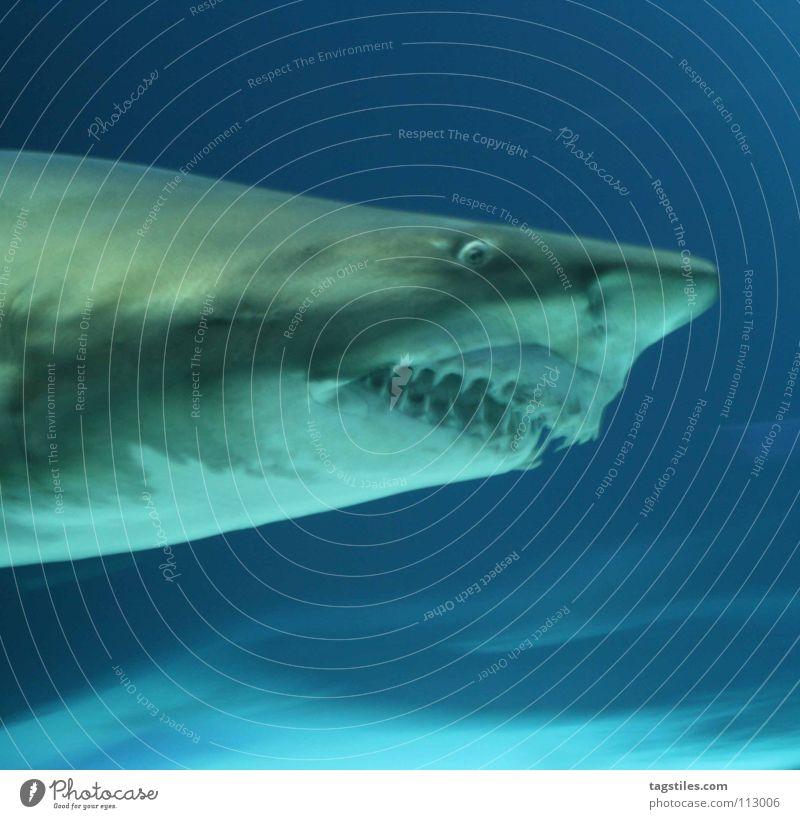hackface Shark Ocean Predatory fish To feed Gray Snout Dangerous Carnivore Fish daytime Blue tiger shark devoured turn and grey Set of teeth Pine Threat Nose