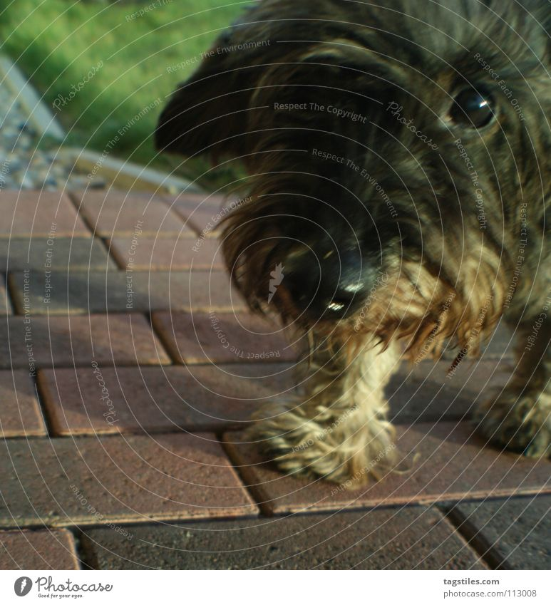 Eyes Dog Trust Curl Mammal Snout Loyalty Entertainment Animal Informer Dachshund Button eyes