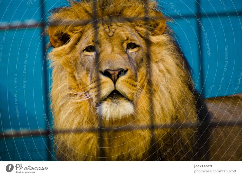 leonine Relaxation Calm Animal Far-off places Line Contentment Power Wait Large Observe Protection Safety Serene Concentrate Watchfulness Exotic