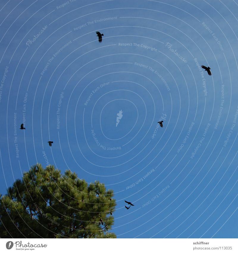 grajas Glide Circle Crow Coniferous trees La Palma Canaries Bird Craja Crajas mountain idols stupid endemics Black Birds Flying Aviation caw Pine