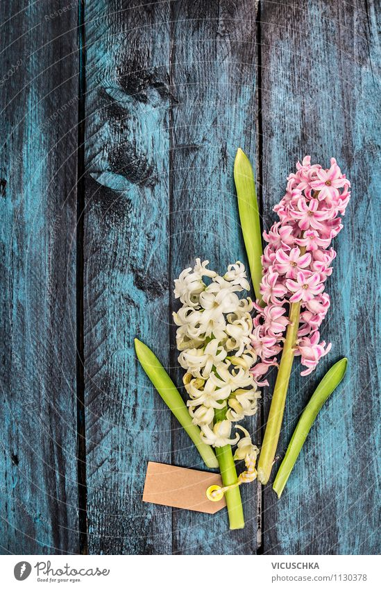 Hyacinth on blue wooden table Elegant Style Design Joy Happy Decoration Table Feasts & Celebrations Valentine's Day Mother's Day Birthday Nature Plant Spring