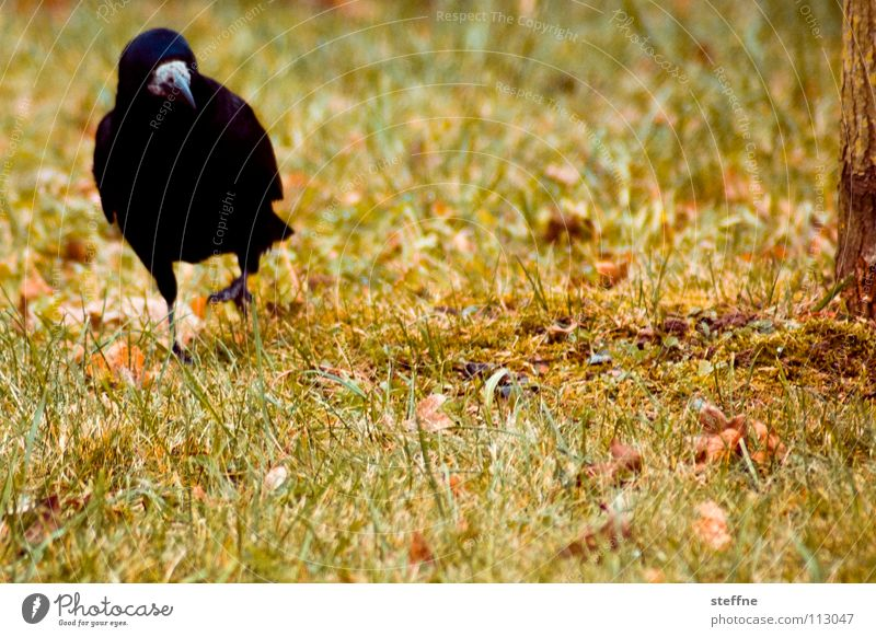 autumn walk Bird Raven birds Crow Black White Yellow Green Red To go for a walk Meadow Grass Tree Autumn Physics Cold Calm Loneliness Feather Beak In transit