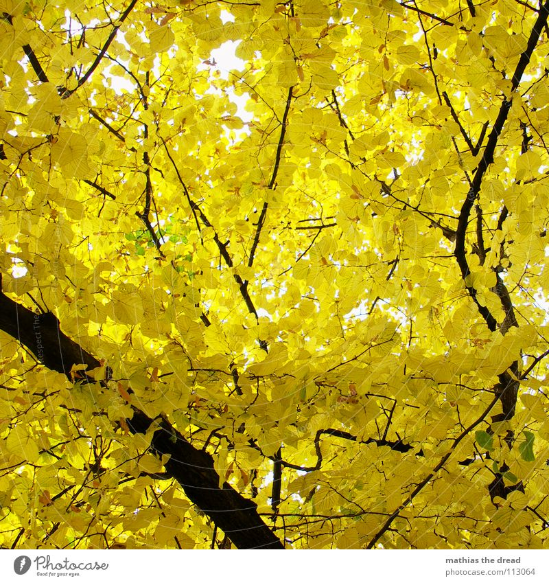 jaundice Tree Plant Living thing Leaf Branched Life Leaf canopy Forest Mixed forest Autumn Deciduous tree Wood Black Yellow Brown Light Worm's-eye view Park
