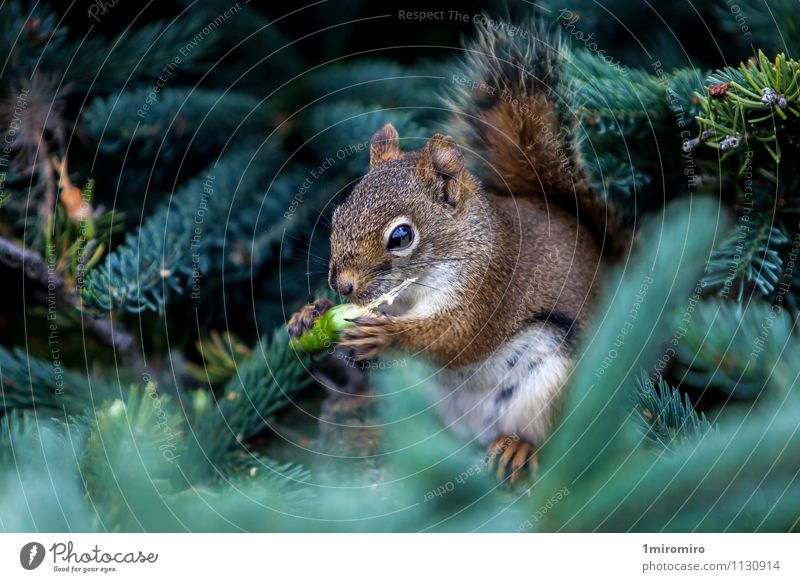 Red Squirrel Nature White Summer Tree Animal Forest Eating Brown Park Wild Wild animal Island Vantage point Cute Mammal