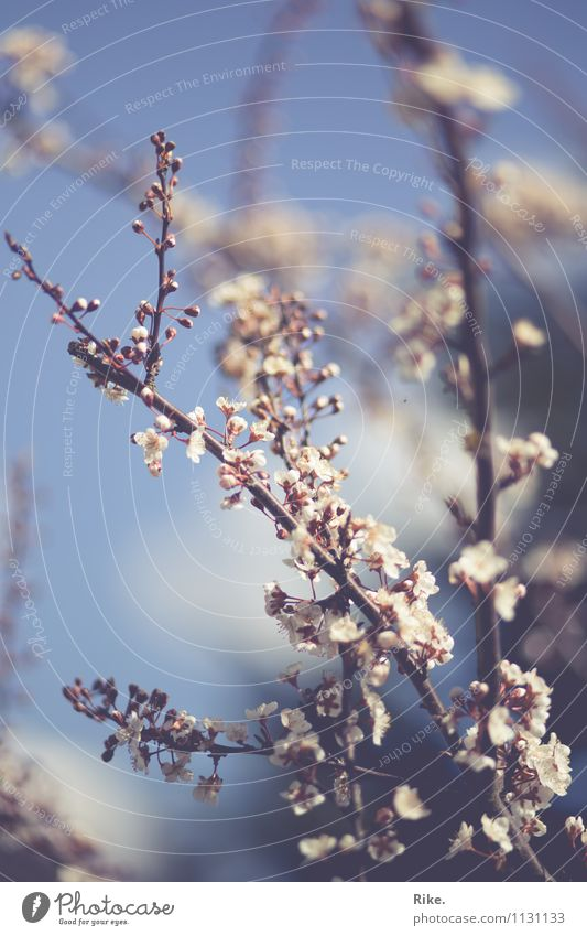 Sky blue. Environment Nature Plant Spring Summer Beautiful weather Tree Bushes Blossom Ornamental plum Garden Park Blossoming Growth Fragrance Kitsch