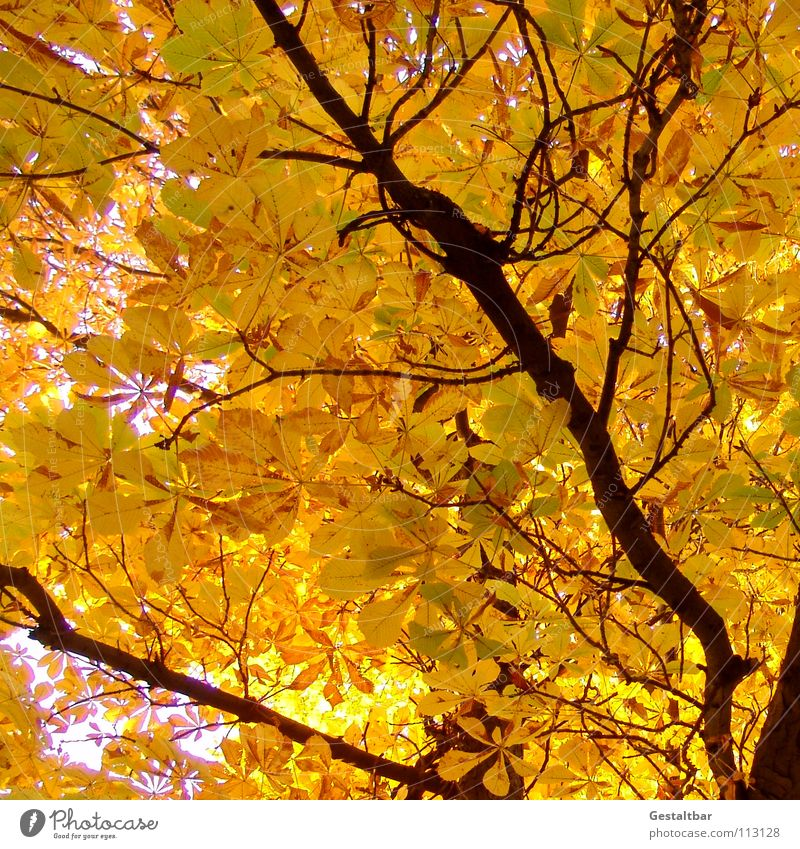 Autumn smell III Leaf Yellow Tree trunk Chestnut tree Treetop Hissing October Goodbye Holiday season Seasons Transience Formulated To fall Lamp End Gold