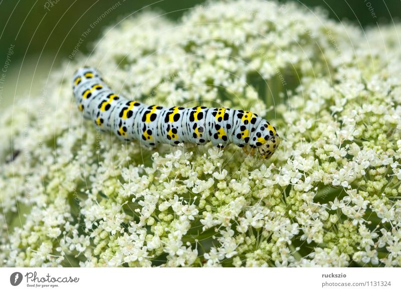 Caterpillar, swallowtail, Wild animal Butterfly To feed Swallowtail Papilio machaon butterflies Insect Noble butterfly spotted butterfly precious butterfly