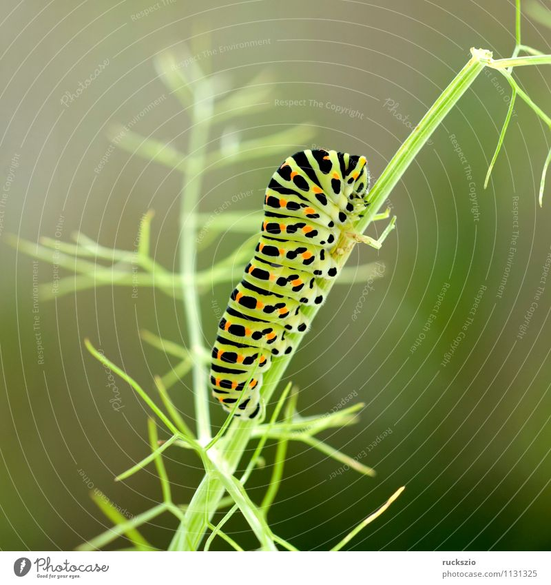 Caterpillar, swallowtail, Butterfly To feed Swallowtail Papilio machaon butterflies Insect Noble butterfly spotted butterfly precious butterfly butter fleece