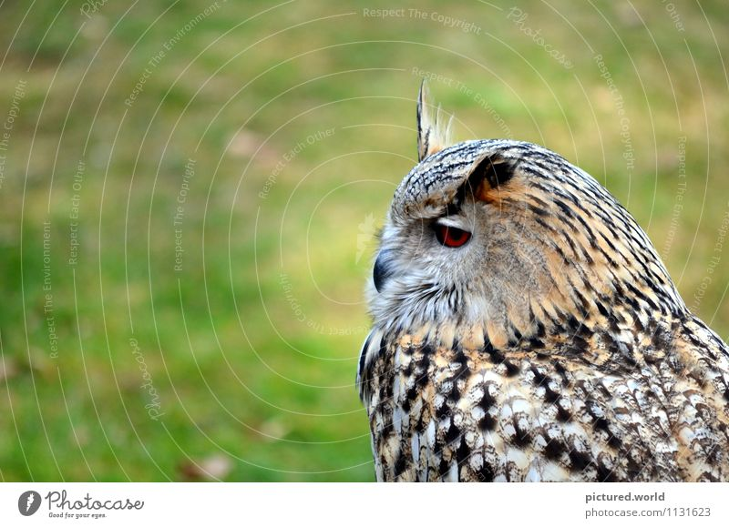 owl - silent flight Nature Earth Air Beautiful weather Animal Wild animal Bird Animal face Wing 1 Observe Crouch Looking Wait Elegant Green Black White