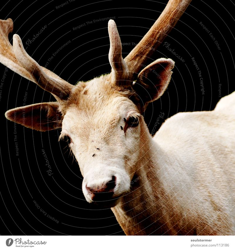 white before black Deer White Dark Black Animal Mammal Antlers Game park Brownish Grief Loneliness Reindeer white deer Wild animal Bright Contrast Looking snort