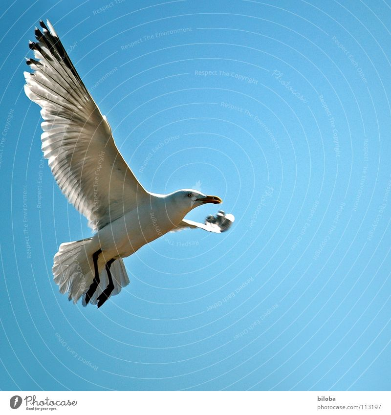 Look who's flying here ;-) Seagull White Black Sea bird Bird Animal Poultry Infinity Beautiful Iron blue Deep Exterior shot seagulls Elegant seabird Flying Free