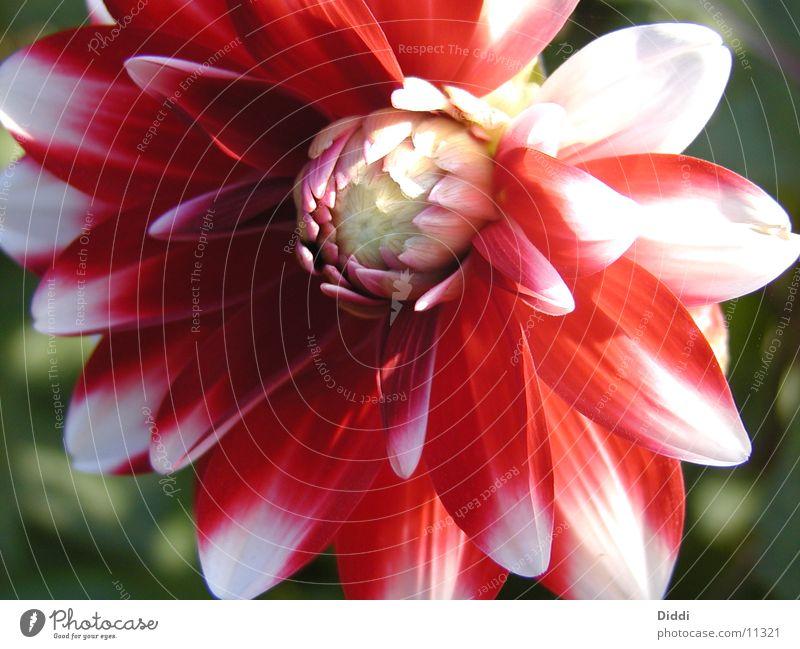 Flower Red Bud Dahlia