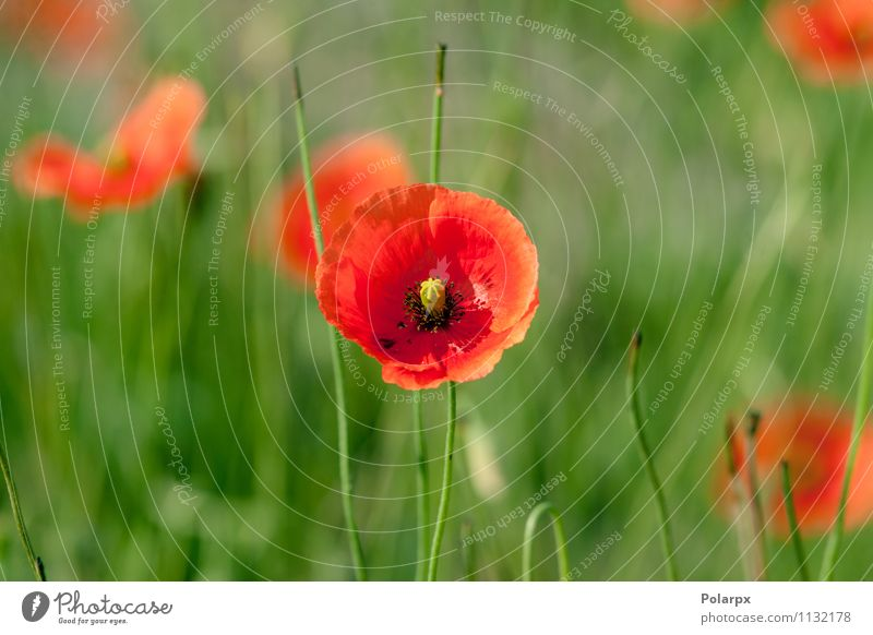 Poppy flower on a field Sky Nature Plant Beautiful Green Colour Summer Flower Red Leaf Landscape Meadow Blossom Grass Natural Garden