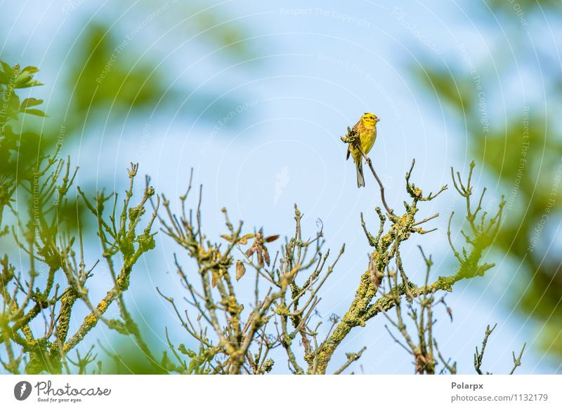 Yellowhammer on a twig Nature Green Summer Tree Animal Forest Environment Autumn Blossom Natural Small Bird Park Wild Sit