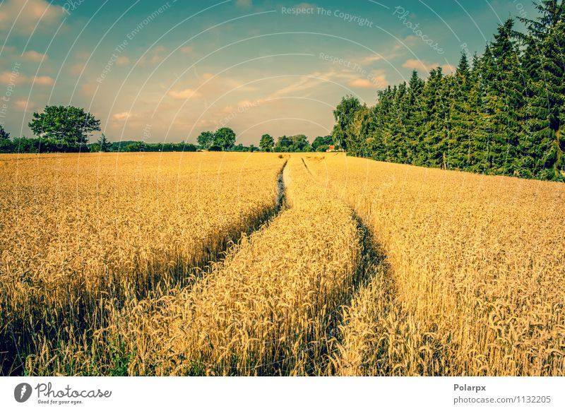 Wheat field in the summertime Summer Nature Landscape Plant Earth Sky Clouds Autumn Tree Meadow Hill Street Lanes & trails Yellow Gold Crops dry agriculture