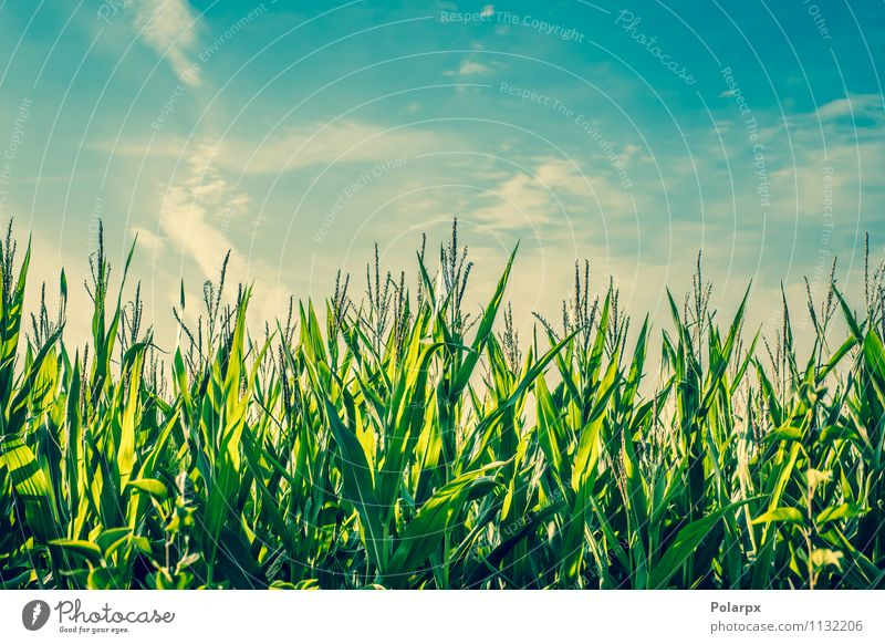 Corn field in the summer Beautiful Summer Environment Nature Landscape Plant Sky Clouds Horizon Weather Tree Grass Meadow Forest Growth Fresh Bright Tall