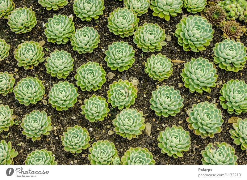 Sempervivum plants on a field Herbs and spices Beautiful House (Residential Structure) Garden Decoration Gardening Nature Plant Earth Flower Cactus Leaf Blossom