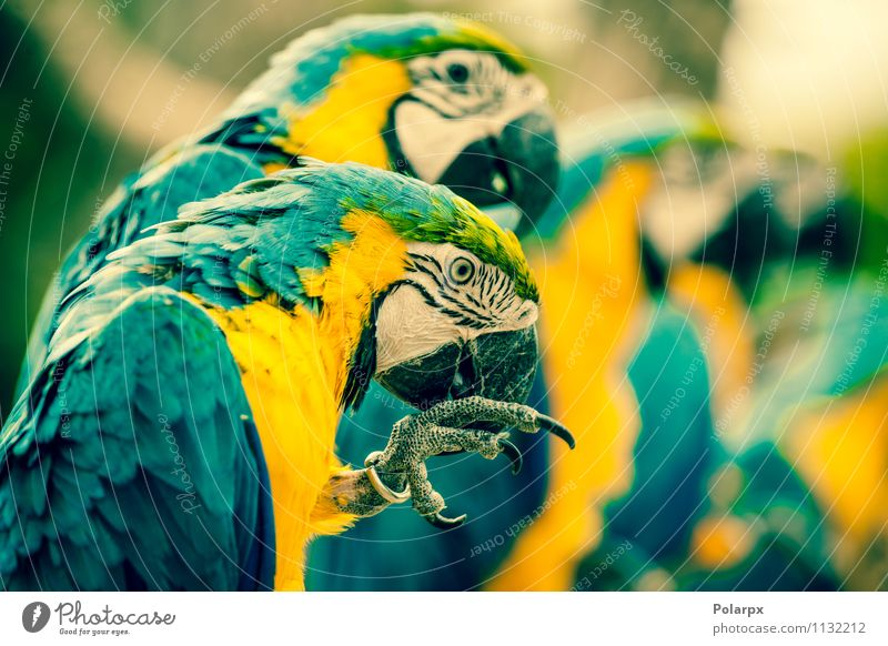 Makaw parrots on a row Exotic Beautiful Summer Zoo Nature Animal Pet Bird Wing Sit Bright Wild Blue Yellow Green Colour scratching colorful Tropical Brazil